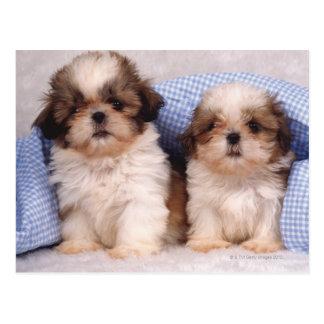 点検された毛布の下のシーズー(犬)のTzuの子犬 ポストカード