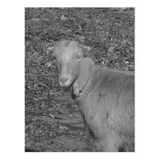 無彩色スケールのヤギ ポストカード