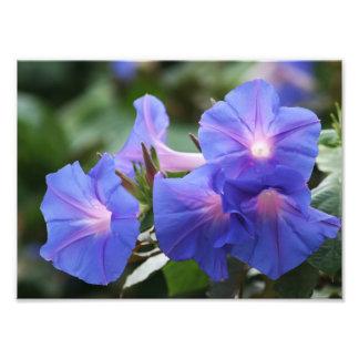照らされた青い朝顔の野生の花 フォトプリント
