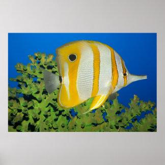 熱帯魚のButterflyfish. ポスター