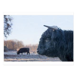 牛を持つ黒い雄牛のスコットランドの高地居住者の頭部 ポストカード