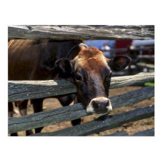 牛 ポストカード