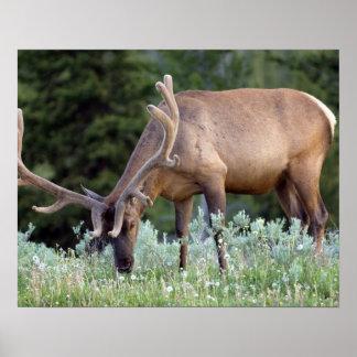 牧草を食べているビロードの(雄ジカの)枝角を搭載するBullのオオシカ ポスター