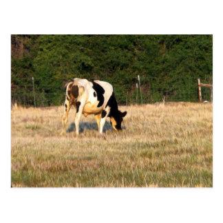 牧草を食べるホルスタイン ポストカード