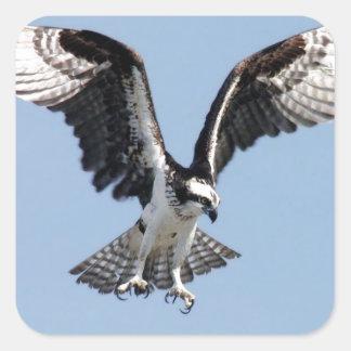 犠牲を捜している美しいミサゴの鳥 スクエアシール