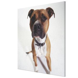 犬、アメリカ(犬)スタッフォードテリアのモデル、 キャンバスプリント