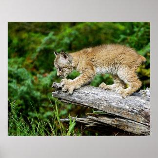 狩りのカナダのオオヤマネコの子ネコ ポスター