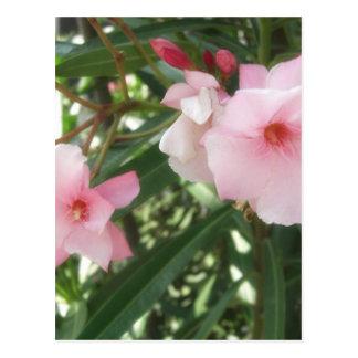 独身のなピンクのオレアンダー5 ポストカード