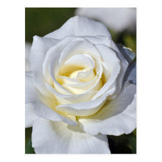 独身のな白いバラの花 ポストカード