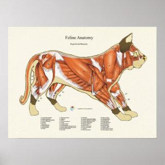 猫筋肉解剖学の獣医の図表 ポスター