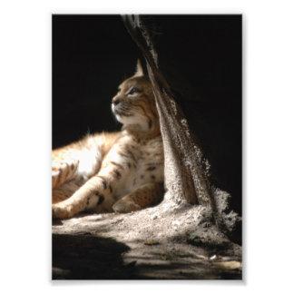 猫、テキサス州Tylerの動物園2008年のライオン猫 フォトプリント