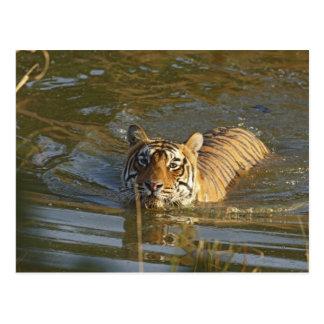 王室のなベンガルトラの水泳、Ranthambhor ポストカード
