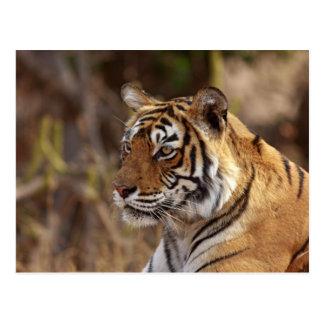 王室のなベンガルトラ、Ranthambhorの国立公園、2 ポストカード