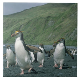 王室のなペンギン(Eudyptesのschlegelii)の風土病、 タイル