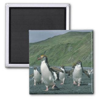王室のなペンギン(Eudyptesのschlegelii)の風土病、 マグネット