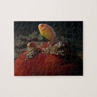 珊瑚海のグレート・バリア・リーフのかわいいclownfish ジグソーパズル