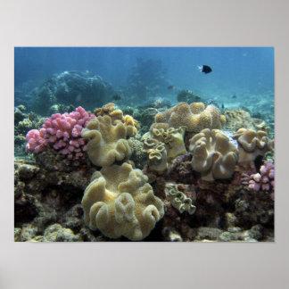 珊瑚、Agincourt礁、グレート・バリア・リーフ、 ポスター
