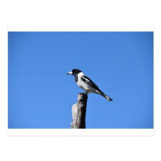 田園オーストラリアのポストの肉屋の鳥 ポストカード