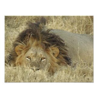男性のライオンの写真のプリント フォトプリント