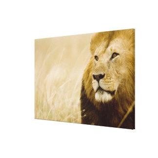 男性のライオン(ヒョウ属レオ)のポートレート、マサイ語マラ キャンバスプリント