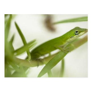 男性の緑のanole、aのAnolisのcarolinensis、 ポストカード