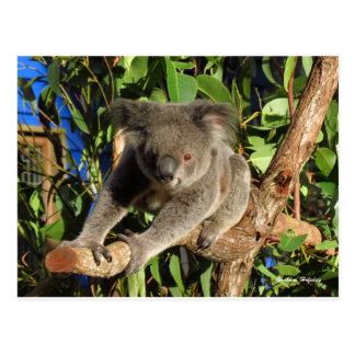 登山Koala.jpg ポストカード