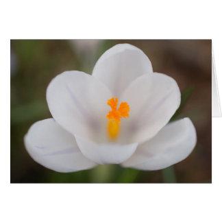 白いクロッカスの花 カード