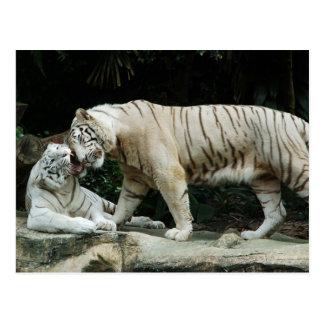 白いトラ ポストカード