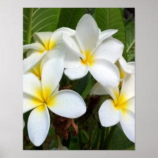 白いプルメリアの花 プリント