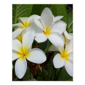 白いプルメリアの花 ポスター