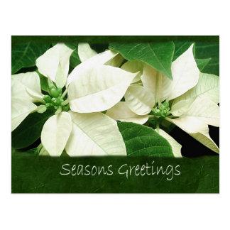 白いポインセチア1 -季節のごあいさつ ポストカード