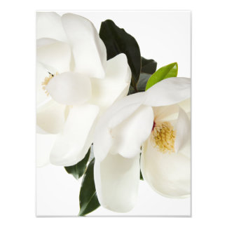白いマグノリアの花のマグノリアの花柄の花 フォトプリント