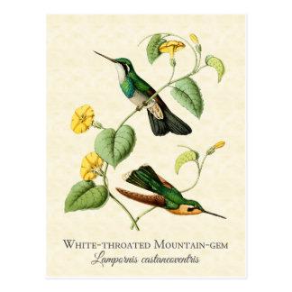 白い喉山の宝石のハチドリのヴィンテージの芸術 ポストカード