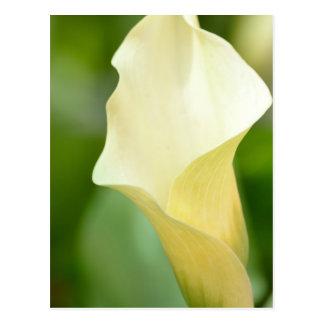 白い春のオランダカイウユリ ポストカード