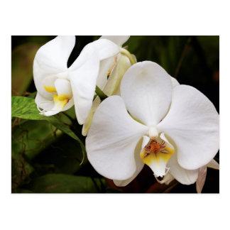 白い月の蘭(コチョウランのアフロディーテ) ポストカード