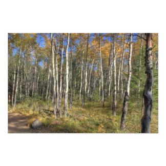 白い樺の木、ジャスパー国立公園 フォトプリント