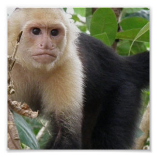 白い直面されたCapuccin猿ポスタープリント ポスター
