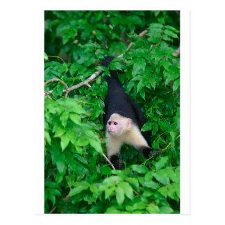 白い直面されたcapuchin猿 ポストカード
