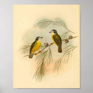 白い直面されたFlycatcherの黄色の鳥のヴィンテージのプリント ポスター