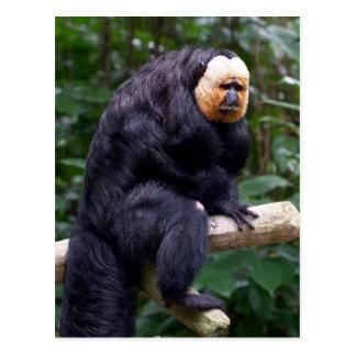 白い直面されたSaki猿の郵便はがき ポストカード