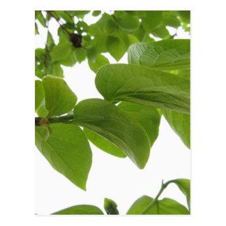白い背景の柿木の緑の葉 ポストカード
