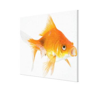 白い背景の金魚 キャンバスプリント