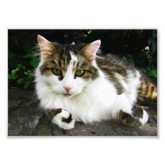 白い虎猫の写真 フォトプリント