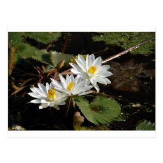 白い《植物》スイレン ポストカード