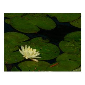 白い《植物》スイレンIの平和な花の写真 ポストカード