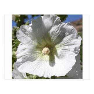 白いHollyhockの花 ポストカード