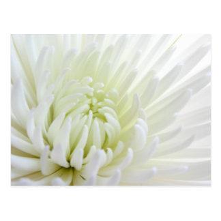 白いSpidermumの花の郵便はがき ポストカード