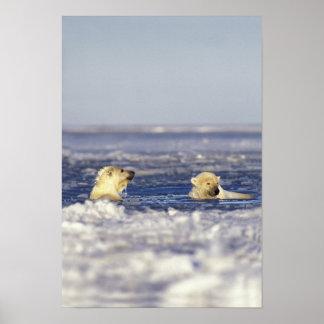 白くまはのパック氷で遊ぶことをcubs ポスター