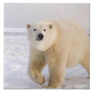白くま、Ursusのmaritimus、氷および雪で、2 タイル