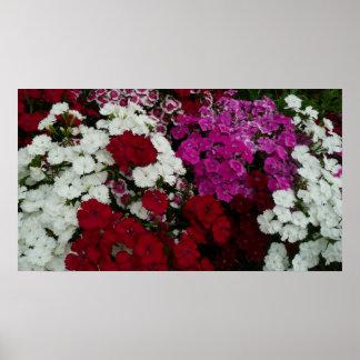 白く、ピンク赤いナデシコの花の写真 ポスター